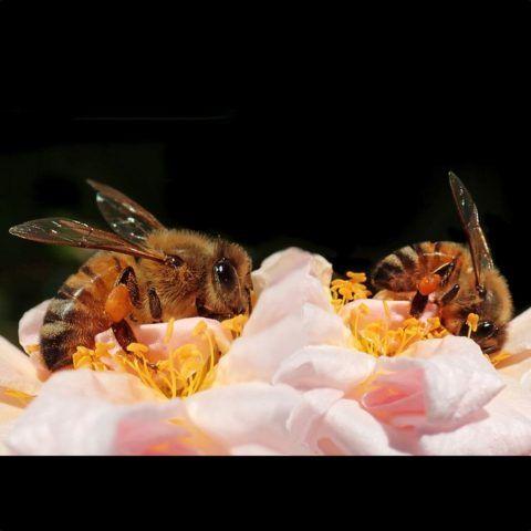 Abejas-trabajando-sobre-flor